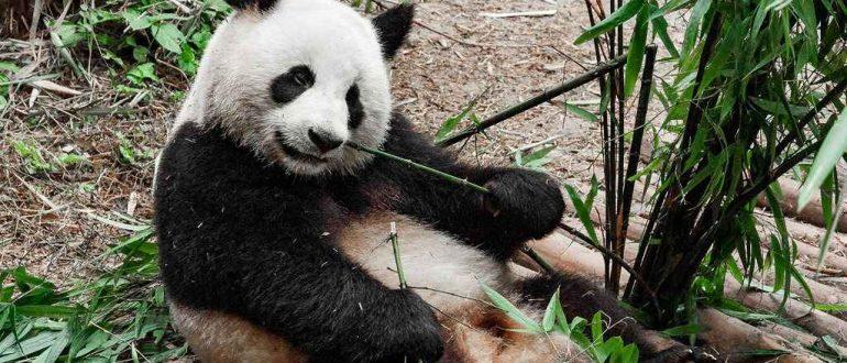 Центр разведения и изучения большой панды